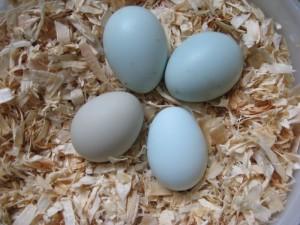 Blauwe eieren|Leg|Kippen houden