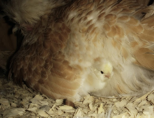 Kippen houden|Broeden