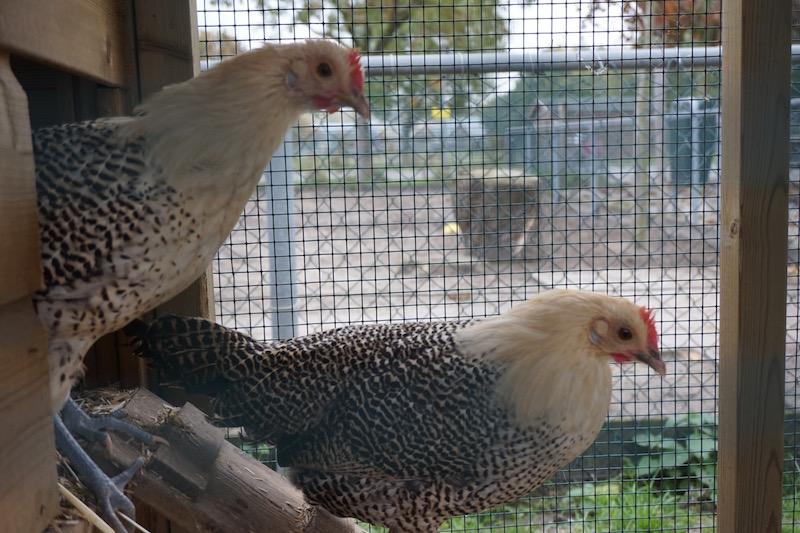 kriel-kippen