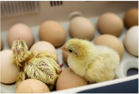 Trilziekte | kippen houden