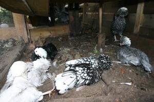 gedrag kippen